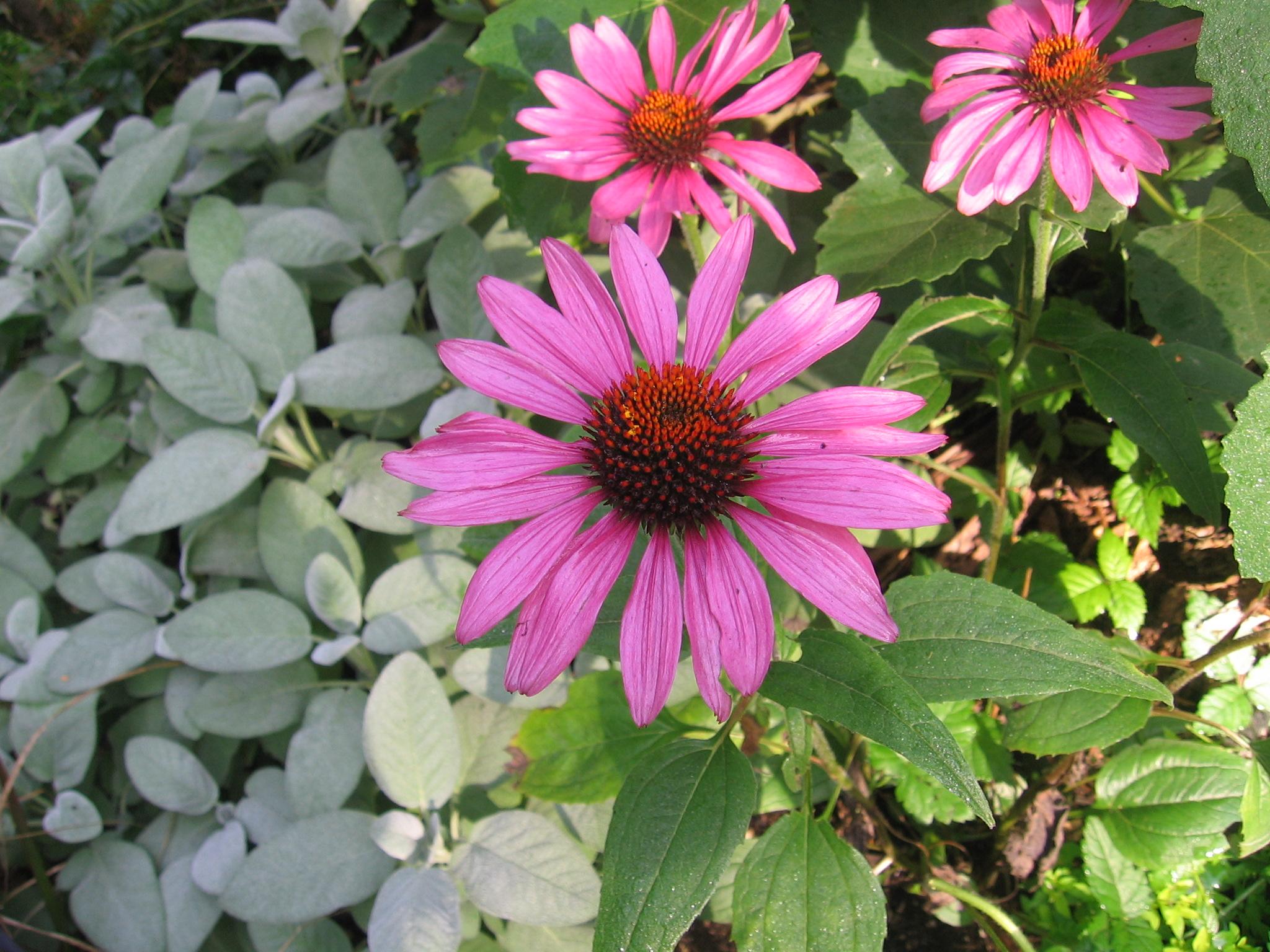 echinacea_herb