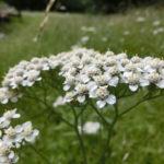 Millefolium Yarrow